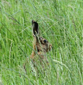 Hare with ears up sitting in long grass