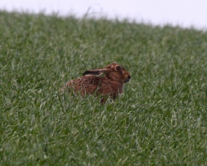 Hare sitting in the field with ears back