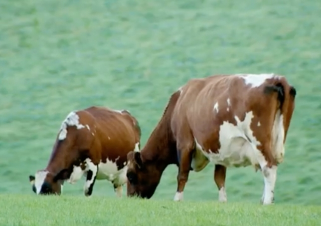 Ayrshire cattle grazing