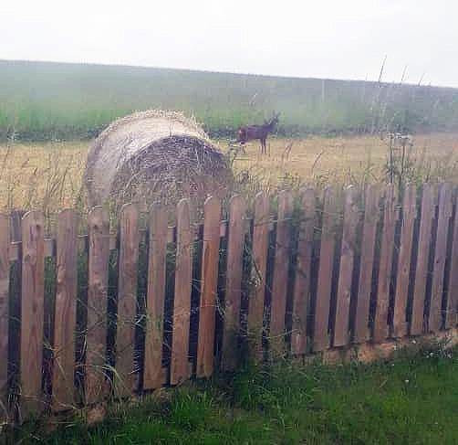 Doe in field